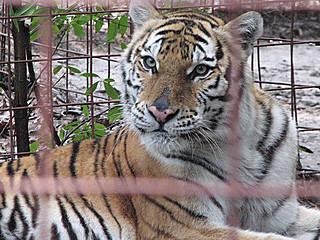 Tiger im Big Cat Rescue. © CrackleCaracal