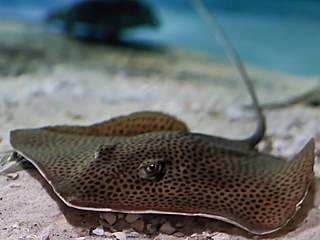Tüpfelrochen im Ocearium du Croisic © Arend Vermazeren